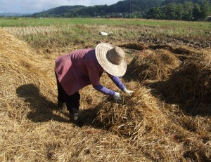 Khun Kruer Wan makes a straw bale to carry over the fields to the truck which is in the trees you can see behind her.